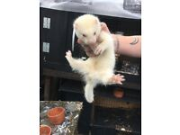 Albino male ferret