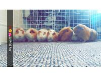 Male teddy guinea pig for sale and cage