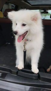 Beautiful Mini American Eskimo puppy looking for a new home