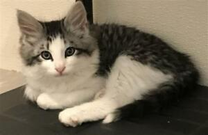 "Baby Male Cat - Domestic Medium Hair: ""Chance"""