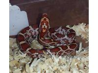 Ultra Corn Snake
