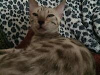 1Male Mink Bengal Cats