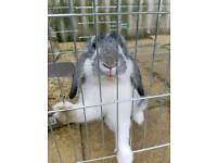 Neutered male rabbit