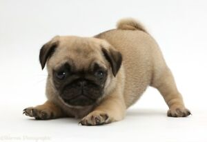 Want: A Male Free Puppy Experienced Owner