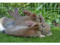 Stunning continental giant rabbits read for reserve now
