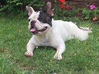 Pied Female French Bulldog Kennel Club Registered