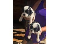 Shih tzu puppies pedigree one boy one girl left