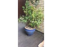 2 large China plant pots with plants