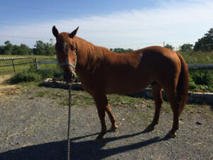 Quarterhorse gelding for sale