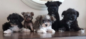 PUREBRED MINI SCHNAUZER PUPPIES