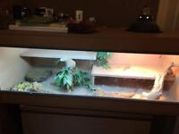 2 Adult female bearded dragons with full set up including extra large vivarium and light fittings.
