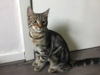 6 month old tabby cat, vaccinated, flea & wormed up to date, lots of xtras inc. cat tree, bed etc