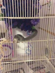 Sweet male sugar glider sadly for sale