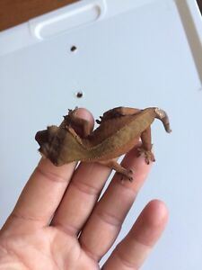 2 crested geckos $60 for both