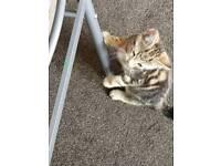 Beautifull tiger kitten for sale