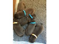 Beautiful blue and blue brindle Staffordshire bull terrier puppies for sale