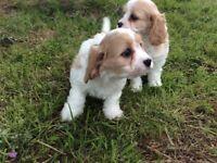 Beautiful cavalier cross bichon puppies for sale.