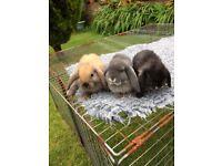 Pure bred mini lops baby rabbits
