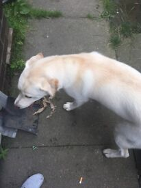 White 9 month old lab x Akita pub for sale.