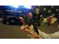 Male rat free to good home