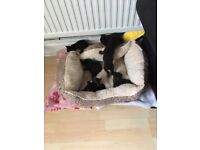 5 x Black Kittens for sale -Male and Female - Lapping and Eating- Ready to go. £30 Each.