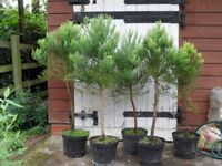 Giant Redwood Trees (Wellingtonia, Sequoiadendron Giganteum) over 4 foot tall