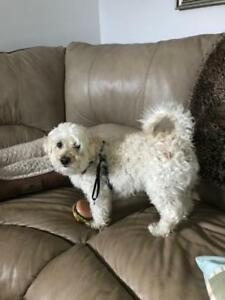 "Young Male Dog - Bichon Frise-Poodle: ""Gandy"""