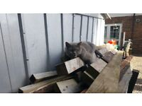 British blue for sale