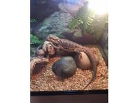 Bearded dragon with 3ft Vivarium, stand and accessories