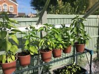 Looking for a forever home, established pepper plant