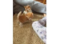 Persian x Ragdoll Gorgeous kittens