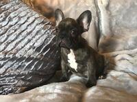 Beautiful French Bulldog Boy with personality to match