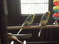 Budgies, cages and accessories