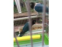 Bird cage with blue pair (birds)