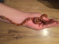 corn snakes for sale