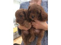 Cavapoo pups- DNA Health tested