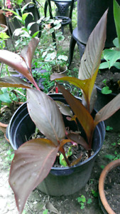Green and red canna lily plants