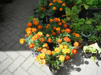 Plants for sale-French Marigold plants-60p to 80p per pot