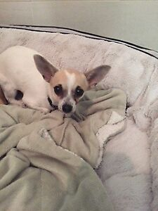 "Young Female Dog - Chihuahua: ""Stella and Rocco"""