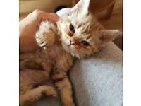 Two Selkirk Rex kittens for sale .Ready tomorrow !