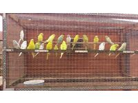 8 adult budgies and 17 budgies at 8 weeks old