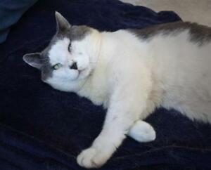 "Adult Male Cat - Domestic Short Hair (Gray & White): ""Leroy"""