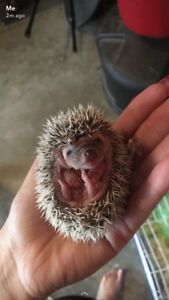 Baby hedgehogs and mom