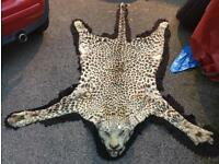 Old vintage antique leopard skin rug taxidermy