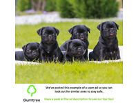 Pug Puppies Available -- Read the ad description before replying to this ad!!