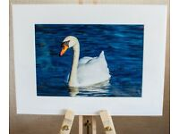 Framed Photo of a Swan