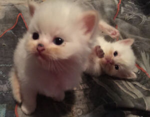 6 Purebred Flamepoint Himalayan kittens!