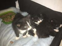 ❤️ Beautiful Fluffy Ragdoll x kittens ❤️