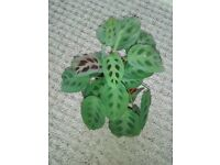 Prayer plant house plant, 10 inch spread others available, choose. Good gift