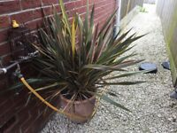 Large cordyline plant and pot
